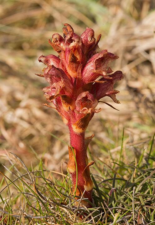 Thyme Broomrape - 'Orobanche alba'