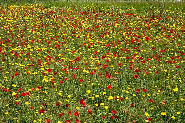 West Pentire Wildflower Fields