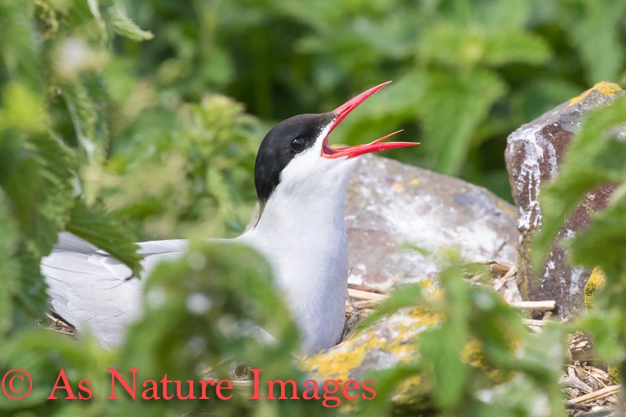 Arctic Tern Calling