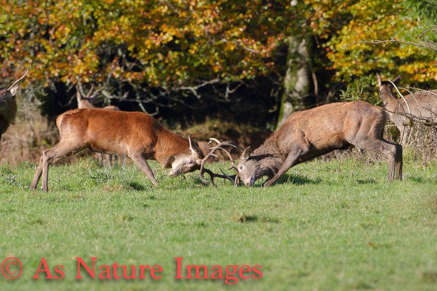 YOUNG STAGS FIGHTING
