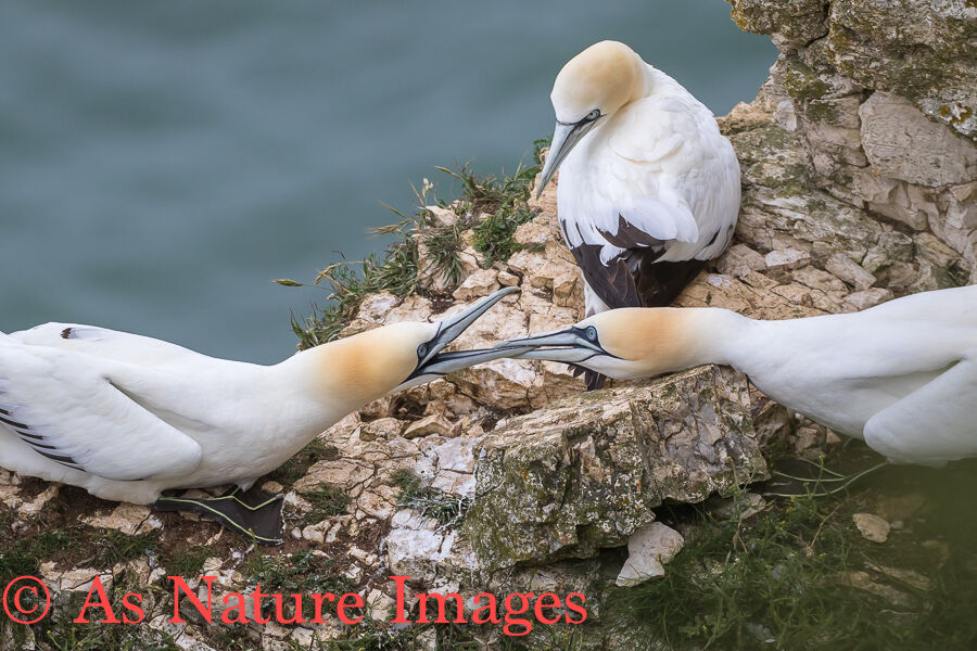 GANNETS FIGHTING