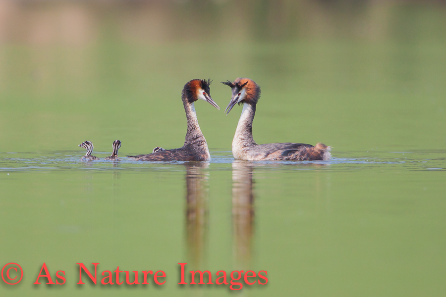 GREAT CRESTED GREBE FAMILY