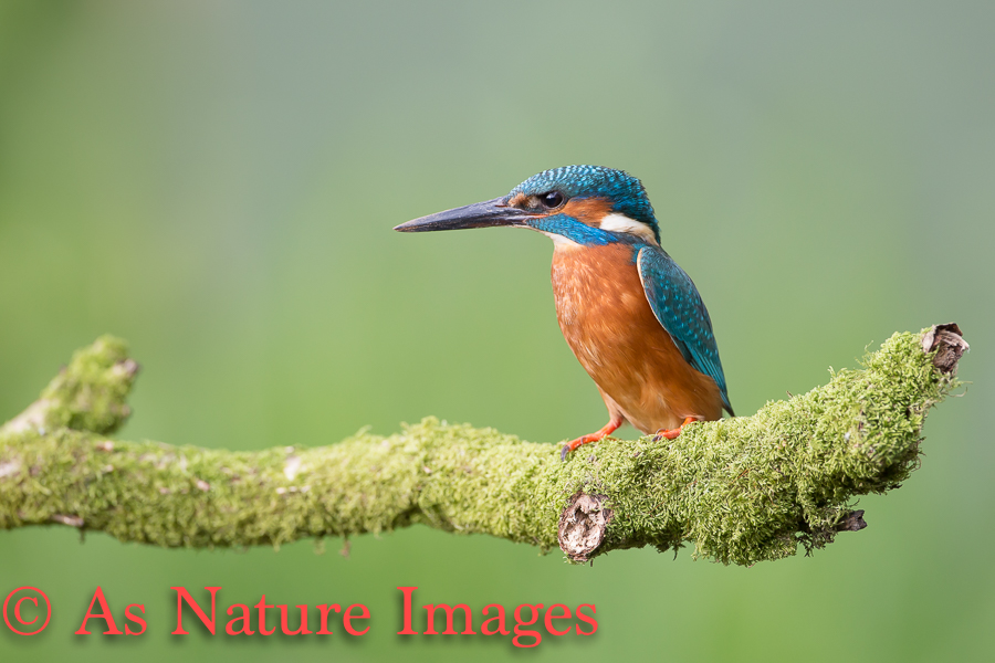 Male Kingfisher on Mossy Branch