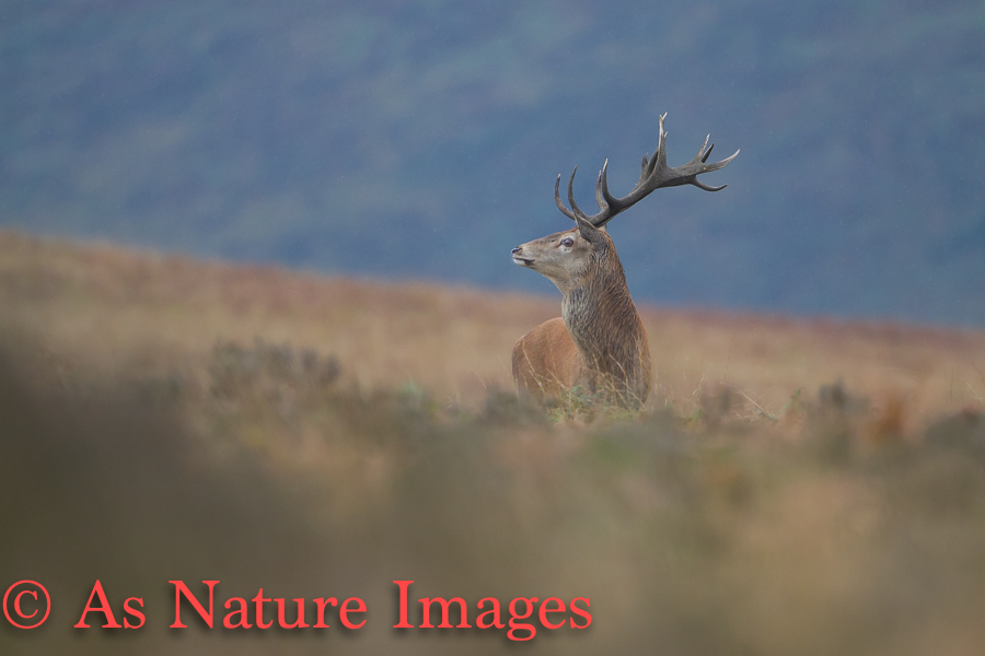 RED DEER STAG IN PROFILE