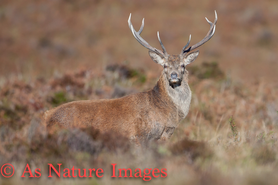 STAG IN BRACKEN