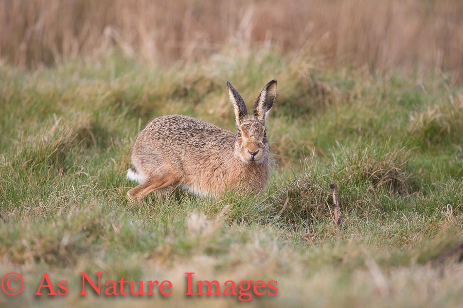 Surprised Hare
