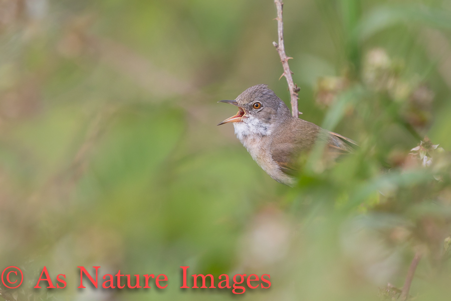 MALE WHITETHROAT SINGING FROM DESNSE COVER