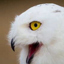 Snowy Owl with something to talk about
