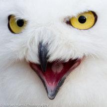 Snowy Owl an intelectual looking bird
