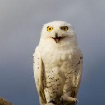 Snowy White Owl portrait