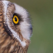 Take a look at my profile - Great Horned Owl
