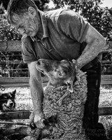 Shearing Time II - Copy