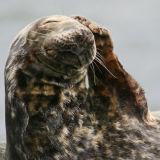 Grey Seal phonecall