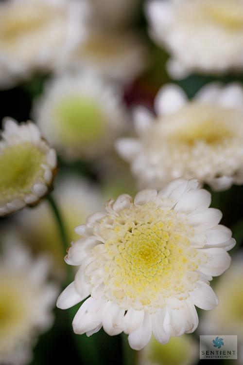 Bouquet Daisies