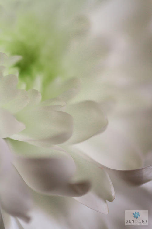 White Gerbera Close-up