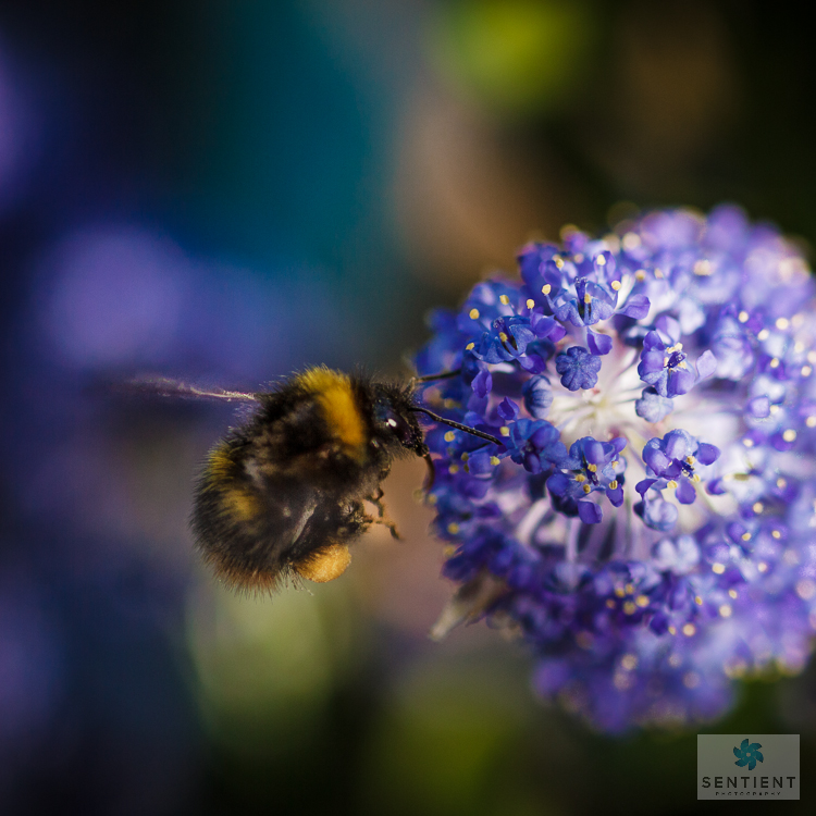 Bee on Flower, Cheshire