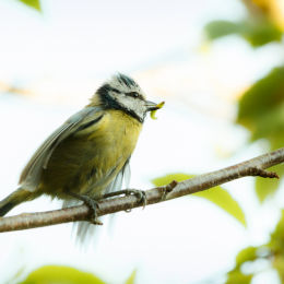 Blue Tit with Grub, Cheshire