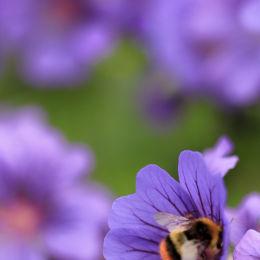 Bees In Flowers, Norfolk