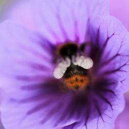 Bee In Geranium, Norfolk