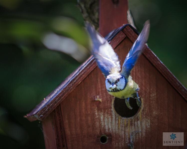 Blue Tit Flies With Fecal Sac-2