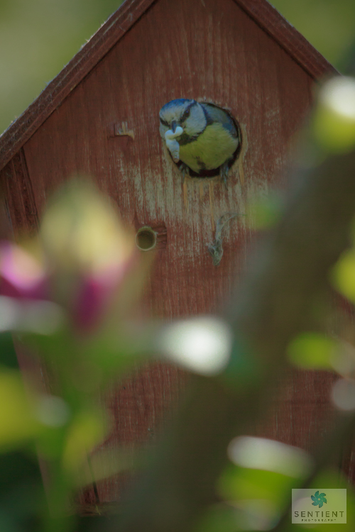 Blue Tit with Fecal Sac