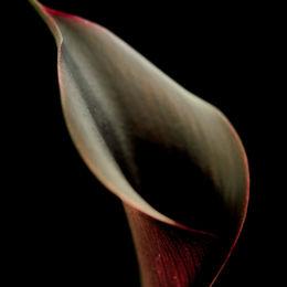 Calla Lily - Hot Chocolate