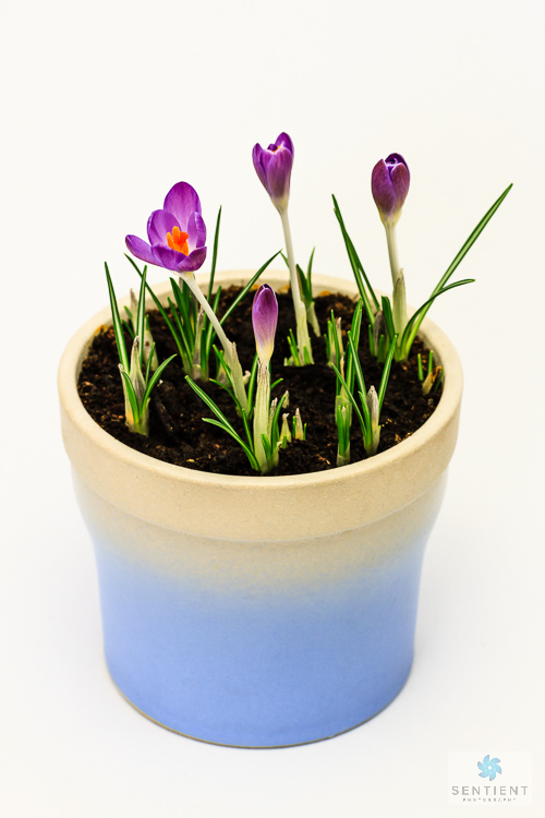 Crocus Pot