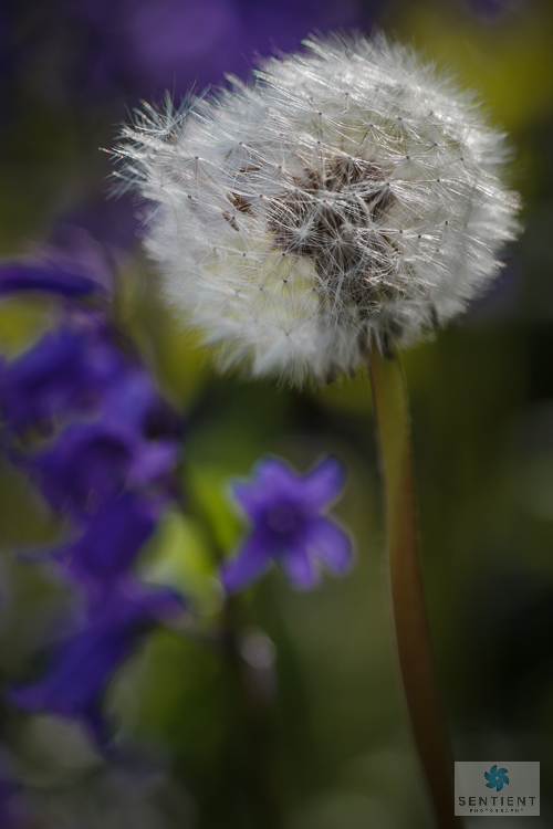 Dandelion & Bluebells #1