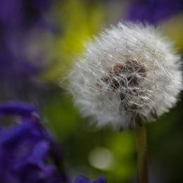 Dandelion & Bluebells #2