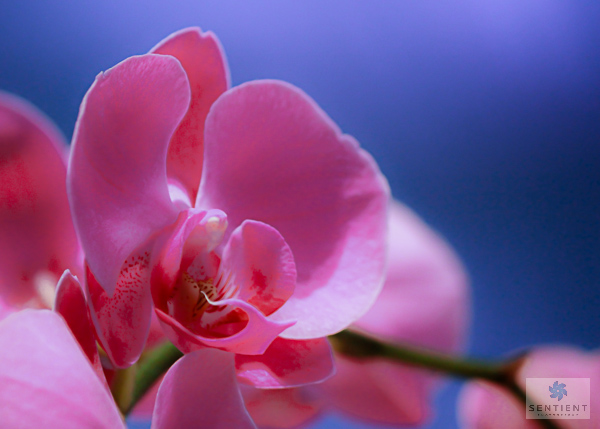 Pink Orchid Wedding Flower Close-up