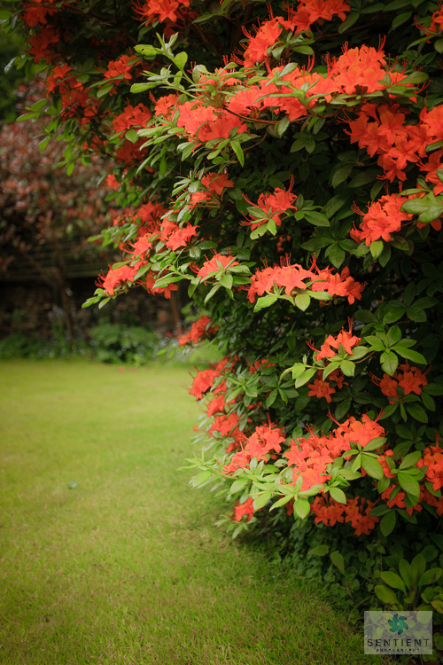 Azalea in a Small Town Garden, Cheshire