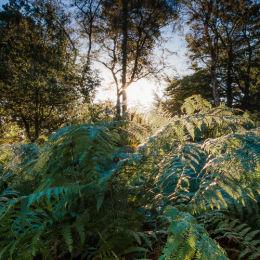 Ferns Sun Rise