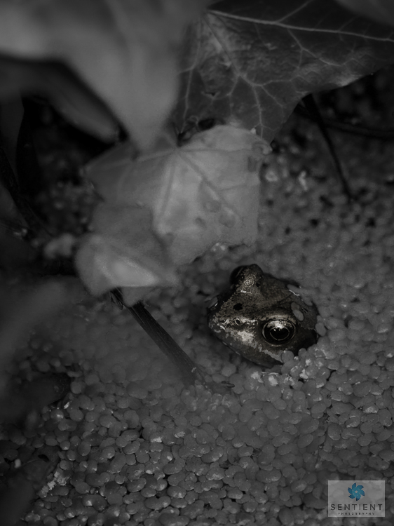 Garden Frogs, Norfolk