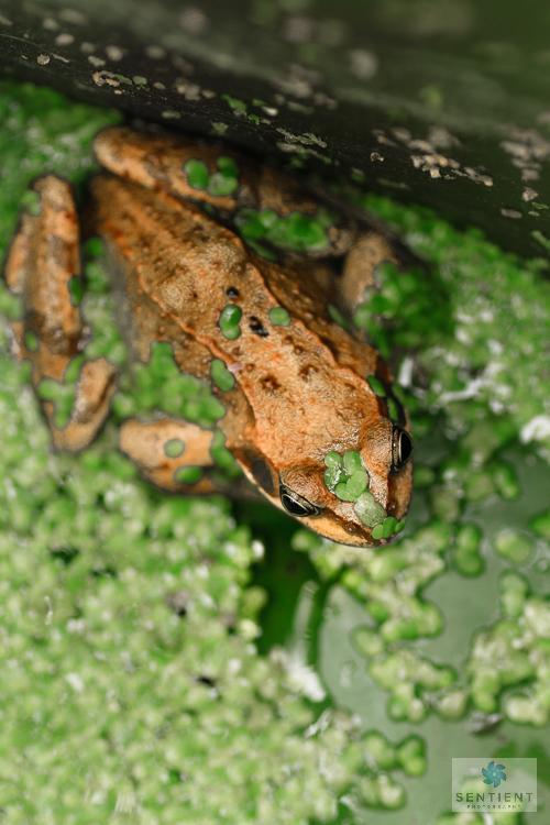 Garden Frogs, Norfolk