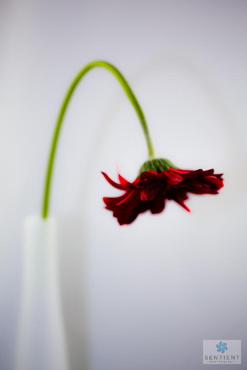 Gerber In Vase # 2