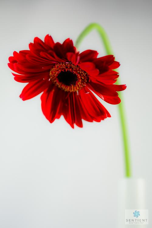 Gerbera In Vase #3