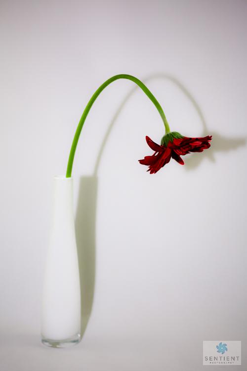 Gerber In Vase #1