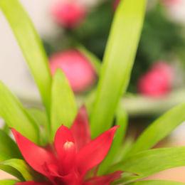 Guzmania Pink Patio Rose