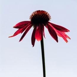 Echinacea Silhouette