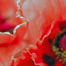 Poppies Petals