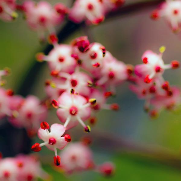Strawberry & Cream Flowers