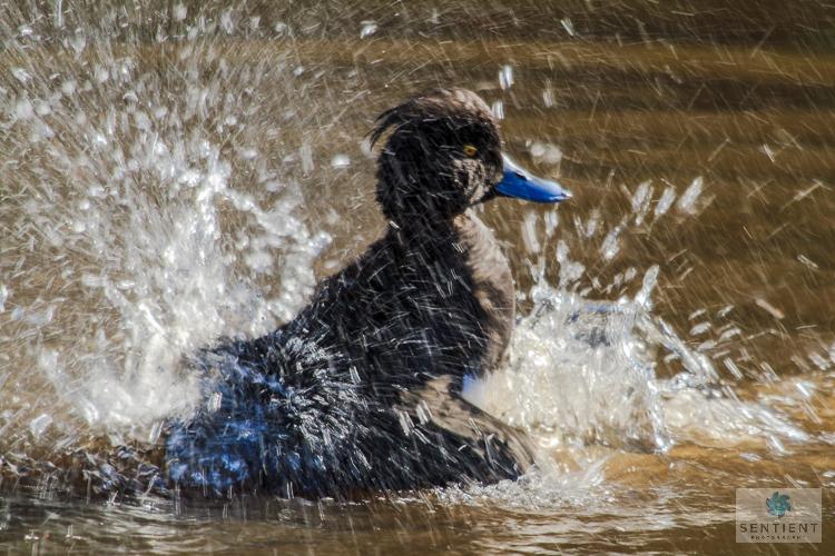 Duck Splash, Martin Mere Lancashire
