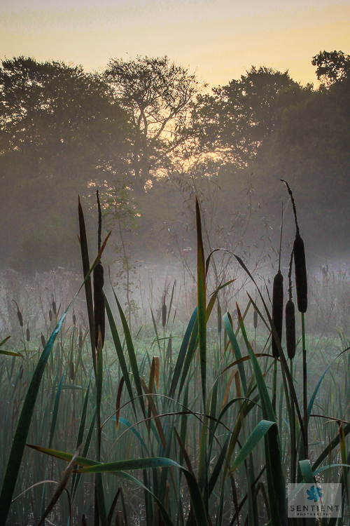 Misty Morning Bulrushes #2