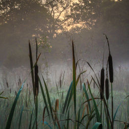 Misty Morning Bulrushes #2