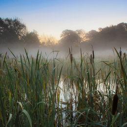 Misty Morning Bullrushes