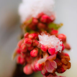 Icy Buds