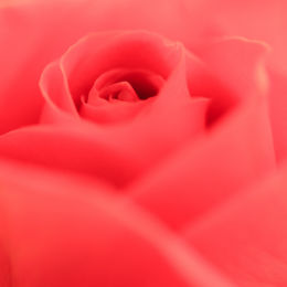 Pink Rose-3