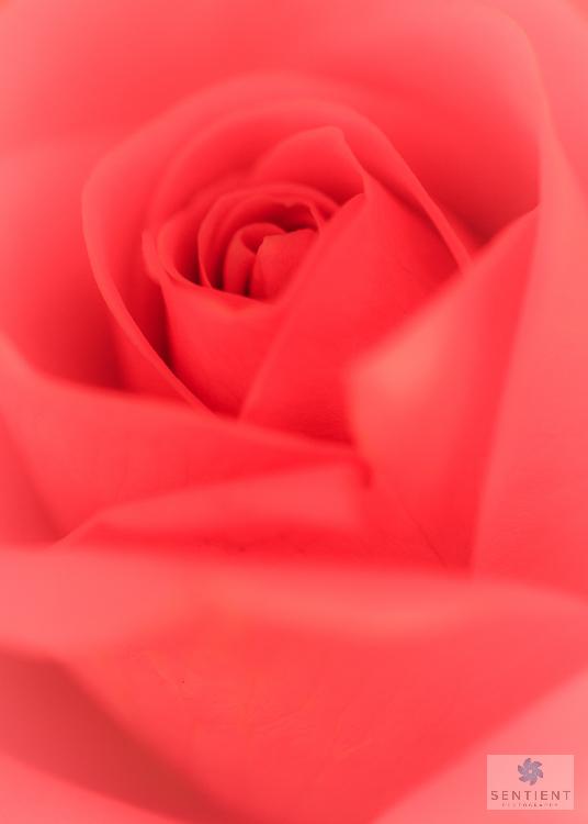 Pink Rose-5