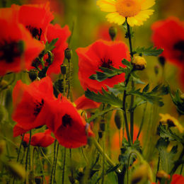 Red Poppies & Yellow Flower