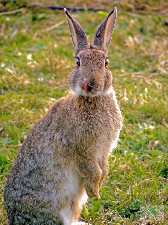 Rabbit Licking Its Lips